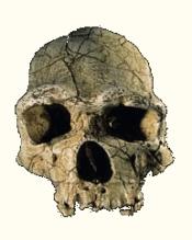 Crâne d'Homo erectus ou Homme de Tautavel (France)