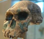 Crâne d'Homo habilis (Tanzanie)