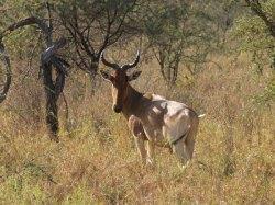 Alcelaphus buselaphus antilope bubale