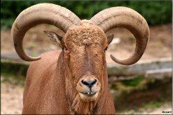 Ammotragus lervia mouflon à manchettes